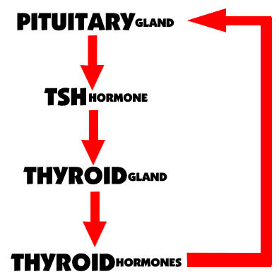 Fatigue? Weight Gain? Depression? Maybe it's your thyroid. (1/2)